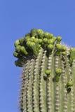 Flores em botão do Saguaro Imagem de Stock Royalty Free