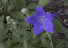 Flores em botão e flor macro de balão da vista Imagens de Stock