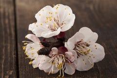 Flores em botão em uma tabela de madeira Fotografia de Stock Royalty Free