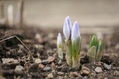 Flores em botão roxas do açafrão no jardim Imagens de Stock Royalty Free