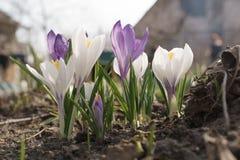 Flores em botão roxas e brancas do açafrão no jardim Fotografia de Stock