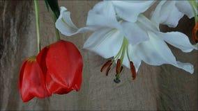Flores em bot?o coloridas de floresc?ncia, metragem do timelapse Feche acima, macro filme