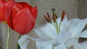 Flores em bot?o coloridas de floresc?ncia, metragem do timelapse Feche acima, macro vídeos de arquivo