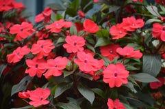 Flores em Cameron Highlands Malaysia imagens de stock