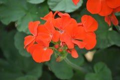 Flores em Cameron Highlands Malaysia imagem de stock royalty free
