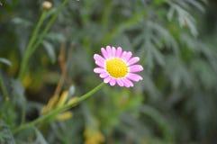 Flores em Cameron Highlands Malaysia fotografia de stock