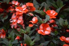 Flores em Cameron Highlands Malaysia fotografia de stock royalty free