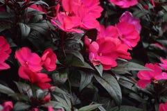 Flores em Cameron Highlands Malaysia foto de stock