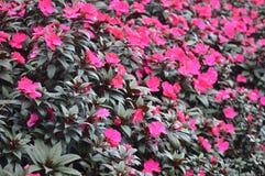 Flores em Cameron Highlands Malaysia fotos de stock