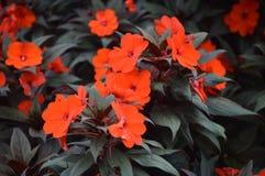 Flores em Cameron Highlands Malaysia imagens de stock royalty free