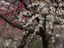 Flores em séries da mola: bloss brancos da ameixa (mei do Bai no chinês) Fotografia de Stock Royalty Free
