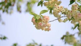 Flores em séries da mola: vista ascendente próxima das flores de flores da cereja em conjuntos pequenos em um ramo de árvore d video estoque