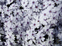 Flores em Slovakia Fotos de Stock Royalty Free