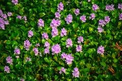 Flores em Sri Lanka selvagem Imagens de Stock Royalty Free