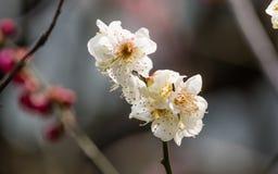 Flores em séries da mola: bloss brancos da ameixa (mei do Bai no chinês) Imagens de Stock Royalty Free