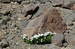Flores em torno da pedra Imagens de Stock Royalty Free