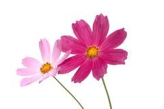 Flores em um fundo branco Fotografia de Stock
