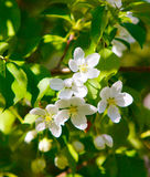 Flores em um ramo da maçã Flores brancas bonitas ilustração stock