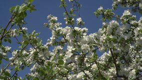 Flores em uma árvore de florescência vídeos de arquivo