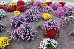 Flores em uma cama no jardim Imagem de Stock Royalty Free