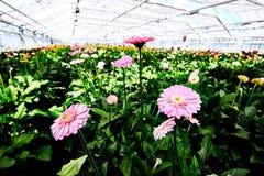 Flores em uma estufa Imagem de Stock Royalty Free
