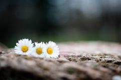 Flores em uma pedra Fotografia de Stock Royalty Free