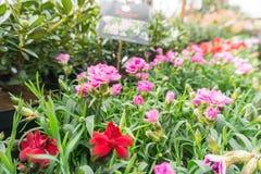 Flores em uns potenciômetros em uma linha em uma casa verde Foto de Stock Royalty Free
