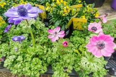 Flores em uns potenciômetros em uma linha em uma casa verde Foto de Stock