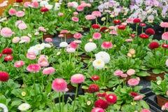 Flores em uns potenciômetros em uma linha em uma casa verde Fotografia de Stock