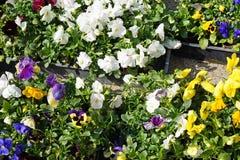 Flores em uns potenciômetros exteriores Foto de Stock