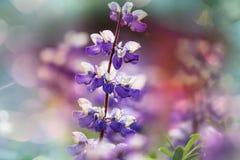 Flores en Alaska Foto de archivo