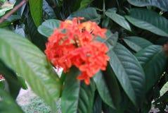 Flores en Bangladesh campo del club de la prensa del jatio Fotos de archivo libres de regalías