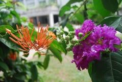 Flores en Bangladesh campo del club de la prensa del jatio Fotos de archivo