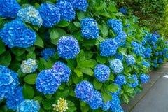 Flores en blanco y azul, Hortencias, flor en la ciudad de Hakone en Japón imagen de archivo
