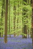 Flores en bosque cerca de Hal, Bélgica Fotos de archivo libres de regalías