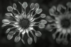 Flores en cierre blanco y negro para arriba fotos de archivo libres de regalías