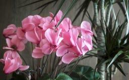 Flores en conserva: ciclamen y dracaena Imagen de archivo libre de regalías