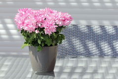 Flores en conserva rosadas de los asteres Imagen de archivo libre de regalías