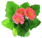 Flores en crisol Foto de archivo libre de regalías
