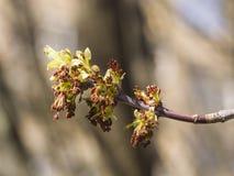 Flores en el arce ceniza-con hojas de la rama, negundo de Acer, macro con el fondo del bokeh, DOF bajo, foco selectivo Imágenes de archivo libres de regalías
