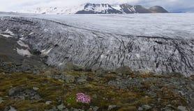 Flores en el glaciar foto de archivo libre de regalías
