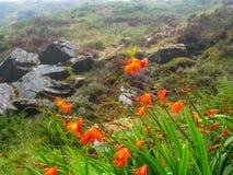Flores en el rocío de la montaña, Valentia Island, manera atlántica salvaje imagenes de archivo