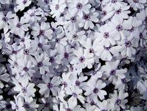 Flores en Eslovaquia Fotos de archivo libres de regalías