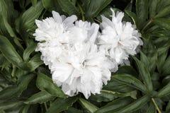 Flores en forma de corazón Imagen de archivo