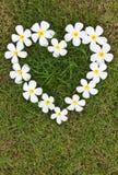 Flores en forma de corazón blancas del Lan Thom. Imagen de archivo libre de regalías