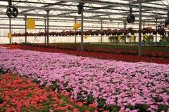 Flores en invernadero Imágenes de archivo libres de regalías