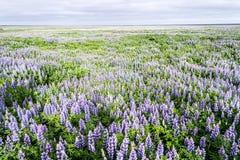 Flores en Islandia Fotos de archivo libres de regalías