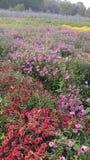 Flores en jardín por completo de la fragancia con la naturaleza foto de archivo