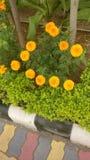 Flores en línea recta Imagen de archivo libre de regalías