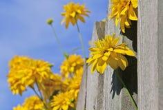 Flores en la cerca Fotografía de archivo libre de regalías
